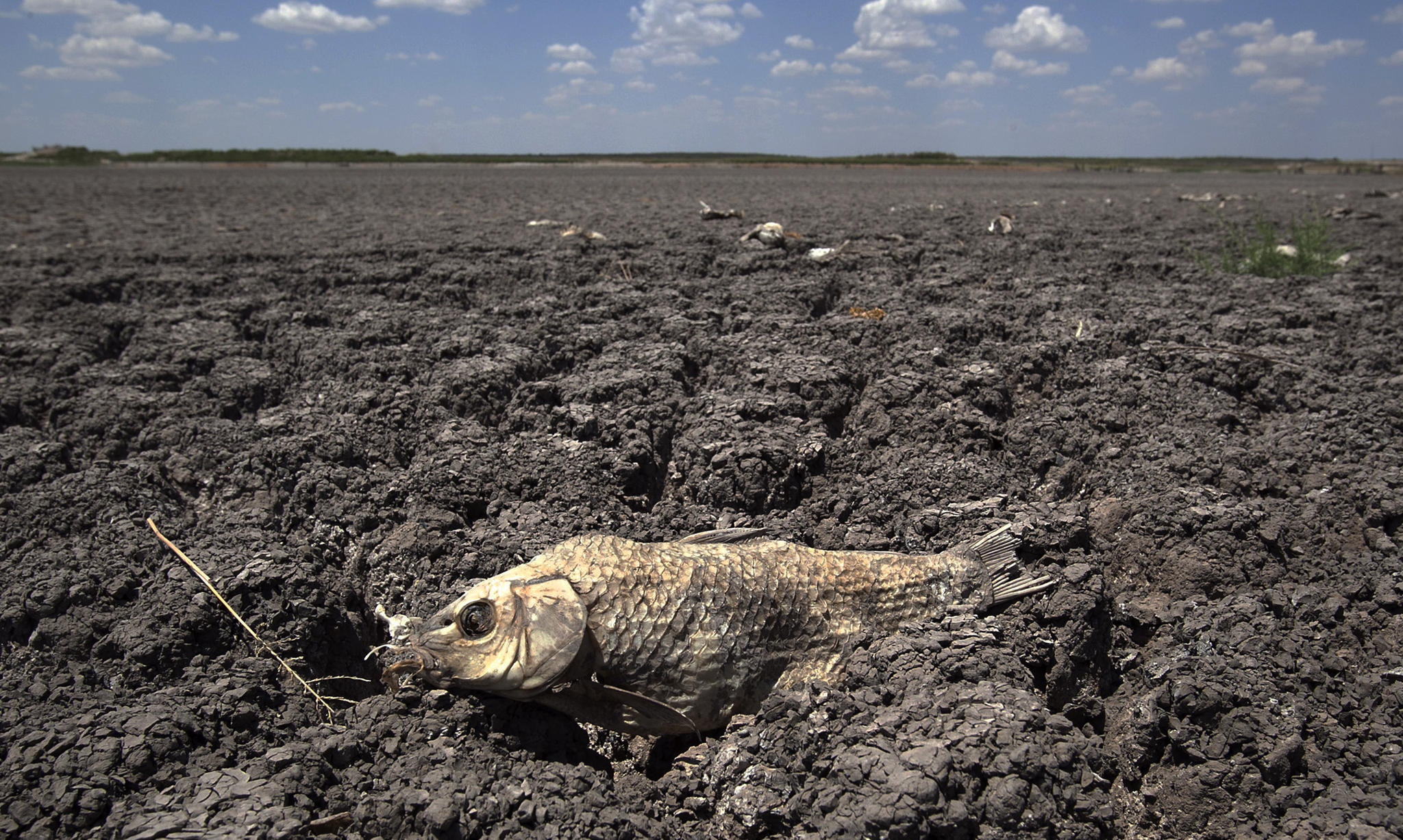 The remains of a carp is seen on the lake dried out lake bed of O.C. Fisher Lake Wednesday, Aug. 3, 2011, in San Angelo, Texas. A bacteria called Chromatiaceae has turned the 1-to-2 acres of lake water remaining the color red. A combination of the long periods of 100 plus degree days and the lack of rain in the drought -stricken region has dried up the lake that once spanned over 5400 acres.  (AP Photo/Tony Gutierrez)
